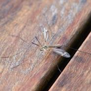 mosquito on wood